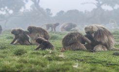Kurtlar ve Maymunlar Arasındaki İlginç İşbirliği