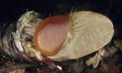 Larvanın Sineğe Dönüşümü