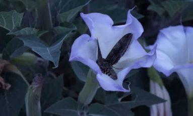 Robotik çiçek, güvelerin gece görüşünü gösteriyor