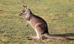 Sağlak ya da Solak Olma Durumu Kangurularda da Gözlemlendi