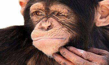 Şempanzeler doğru olduklarını biliyor ve kanıtlıyor