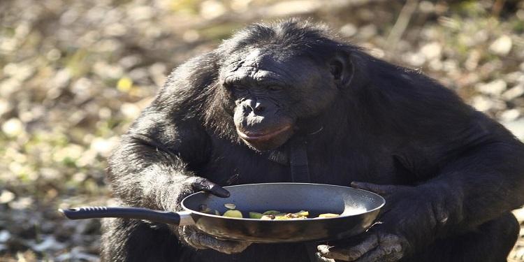 Şempanzeler Yemek Pişirmeyi Öğrenebiliyorlar