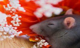 """Sıçanlar da """"Rüyalarında"""" Parlak Bir Geleceğe Giden Yollar Görüyorlar"""