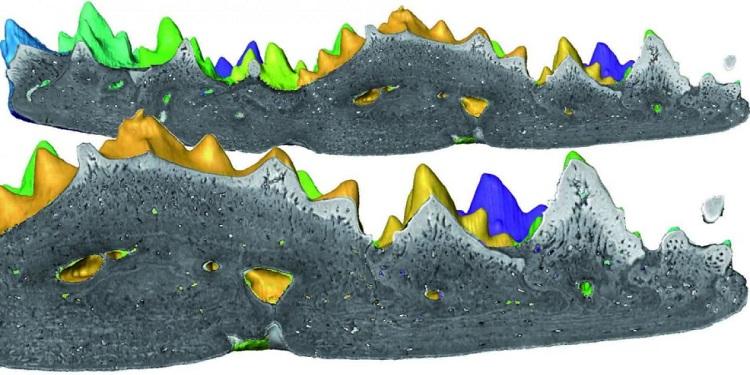 Unutulmuş Fosil Dişlerin Kökenine İşaret Ediyor