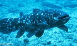 Yaşayan Antik Balık: Coelacanth