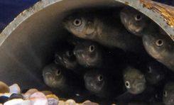 Balıklar Korkuyu Rol Modellerinden Öğreniyor