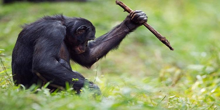 Bonobolar Tıpkı Taş Devri İnsanları Gibi Çeşitli Araç-Gereçleri Kullanıyorlar