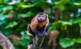 Dişi Kapuçin Maymunu İnce Bir Dal Parçasıyla Burnunu Karıştırıyor