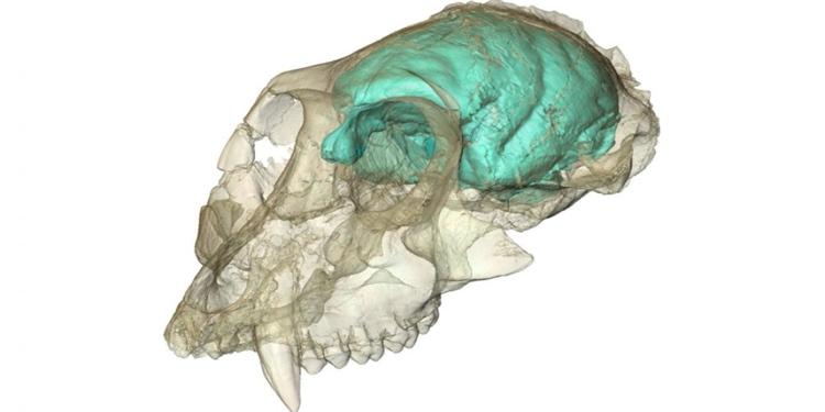 Bilinen en eski maymunsu, küçük ama karmaşık beyinliydi
