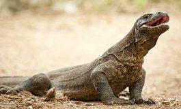 İklim Değişimi Komodo Ejderlerinde Cinsiyet Değişimine Sebep Oluyor