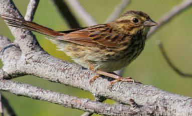 Şehirlerde Yaşayan Kuşlar Kırsal Bölgelerdekilere Göre Daha Agresifler