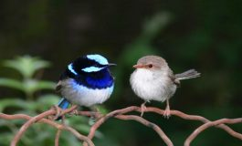 Vahşi Kuşlar da Dil Öğrenebiliyor!