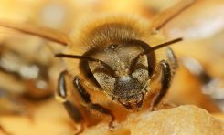 Arılar Yavrularını Aşılıyorlar!