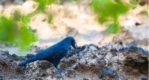 Yeni Kaledonyalı karga (Corvus moneduloides) yem bulmak için alet kullanıyor. (Kaynak: Roland Seitre/NPL)