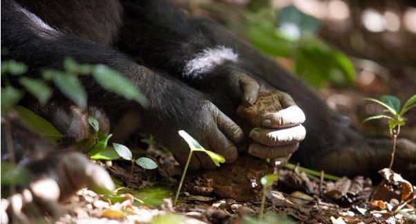 Bir şempanze taş çekiç kullanıyor. (Kaynak: Justine Evans/NPL)