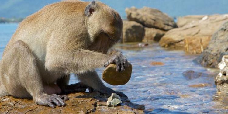 Bazı Şempanzeler ve Maymunlar Taş Çağına Girdi