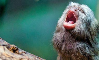 Bebek Marmosetler Konuşmayı Nasıl Öğreniyor?