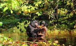 """Bonoboların """"Konuşma"""" Biçimi Bebeklerinkine Benziyor"""
