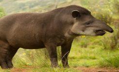 Devasa Penisiyle Kendisini Kaşıyan Tapir