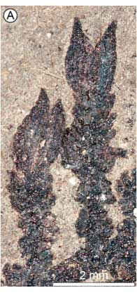 ilk-cicekli-bitkiye-dair-yeni-bulgu-montsechia1-bilimfilicom