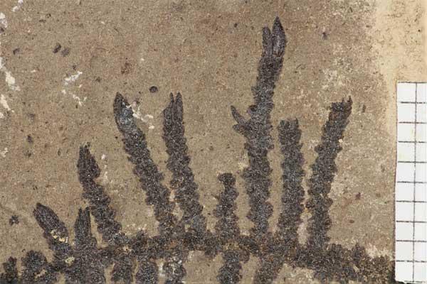 Montsechia kısa yaprak formunun özgün parçası