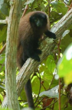 peruda-yeni-bir-maymun-turu-kesfedildi-1-bilimfilicom