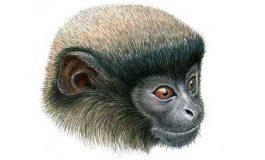 Peru'da Yeni Bir Maymun Türü Keşfedildi
