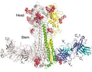 Grip virusuna ait HA- baş ve gövde kısımları (Telif: The Wilson Lab)