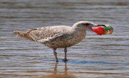 2050 Yılında Deniz Kuşlarının Yüzde 99'unda Plastik Bulunacak