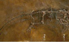 Darwinius'un Diş Dizgesi ve Evrimsel İlişkisi
