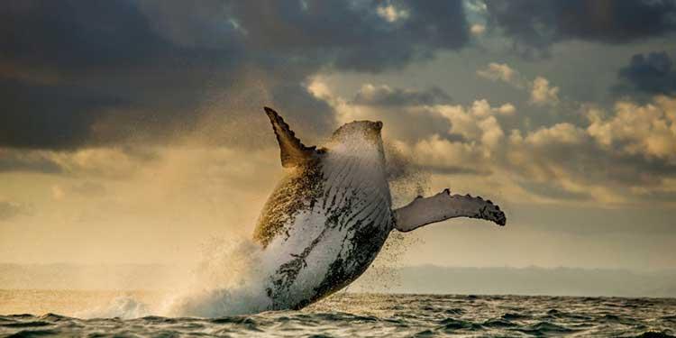 Derinlere Dalabilen Balinaların Sentetik Kan Üretimine Katkısı