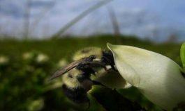 Enfeksiyon Kapmış Arılar, Faydalı Çiçeklerle Kendilerini Tedavi Ediyorlar