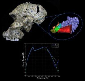 Paranthropus robustus kafatasının orta kulağında bulunan kemikler ve grafikte duyma eşiği sonuçları gösterilmiş. Telif : Rolf Quam