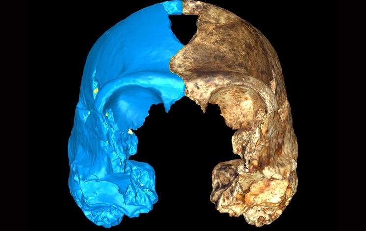 Homo naledi kafatasının önden görünüşü. ( Mavi kısım sanal olarak tamamlanmış şekilde ) - Heather Garvin