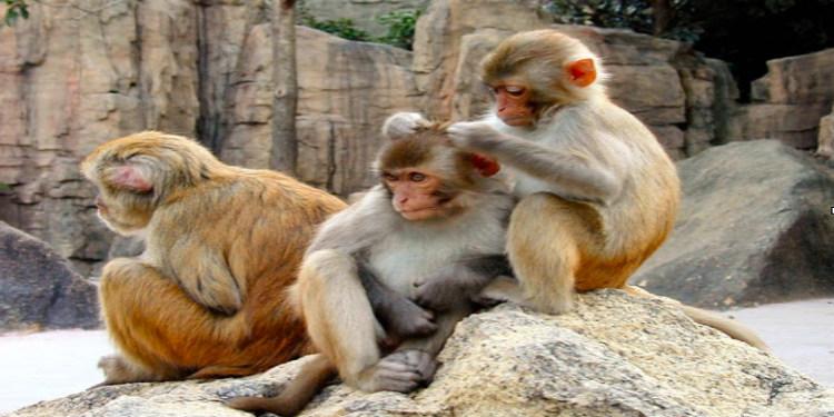 CMV aşı çalışmalarında yeni model: Makak maymunu