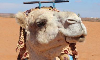 Kenya'da Develere Yapılan Testlerde MERS Virüsü Pozitif Çıktı