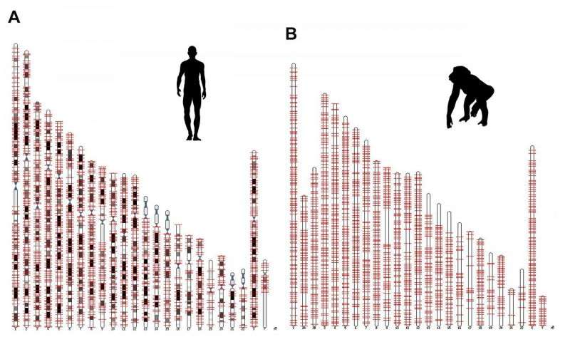 Salk researchers discovered a new genetic component, called ORF0, spread throughout the DNA of humans, chimps and most other primates. This image shows the locations of the ORFO on human and chimp chromosomes. Credit: Salk Institute Read more at: http://phys.org/news/2015-10-scientists-protein-factories-hidden-human.html#jCp