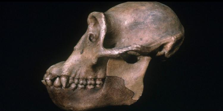İnsanların Şempanzelerden Ayrılmaları Sanılandan Daha Önce Gerçekleşti!
