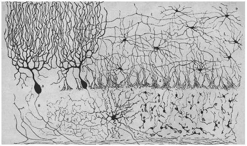 Fotoğraf : Santiago Ramón y Cajal'a ait kuş serebellumu çizimi