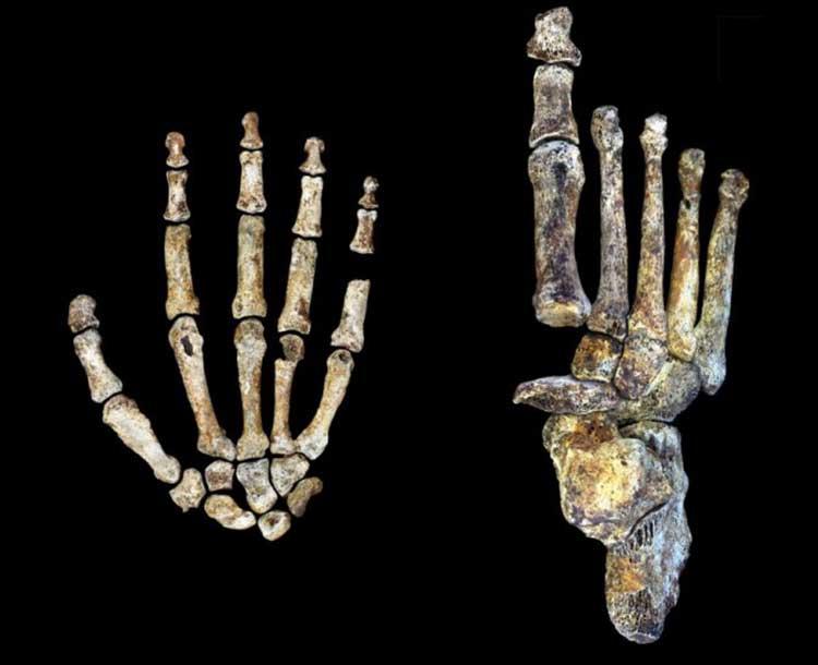 yeni-insan-turu-homo-naledi-nin-el-ve-ayak-yapisi-1-bilimfilicom
