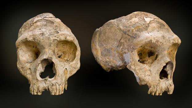 Neanderthal kafatasları (Fotoğraf: Natural History Museum/SPL)