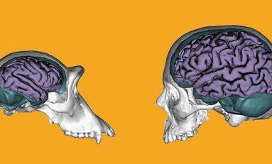 Kültürel Evrimimizi Beynimizin Eşsiz Plastisitesine Borçluyuz