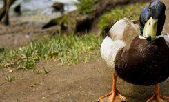Ördekleri Ekmek ile Beslemek Ne Kadar Doğru?