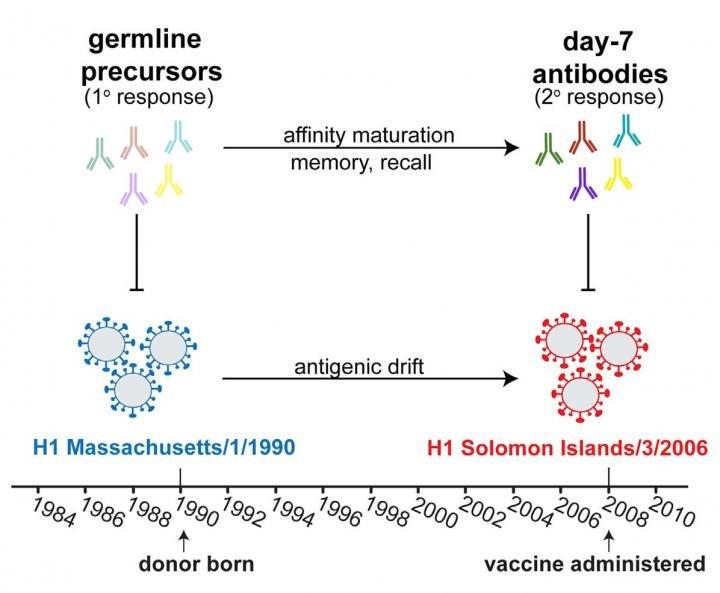 Orijinal makaleden virüs antijenleri ile buna karşı geliştirilen antikorları karşılaştıran (1990'dan 2006'ya kadar olan değişim) görsel : Credit: Schmidt et al./Cell Reports 2015