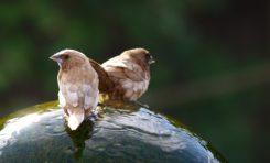 Ötücü Kuşların Ses Kasları İnsanlarınki Gibi Çalışıyor