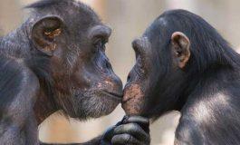 Şempanzeler de Birbirlerini Sarılarak ve Öperek Teselli Ediyorlar