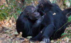 Sosyal Şempanzeler Daha Zengin Bağırsak Mikrobiyomu Barındırıyor