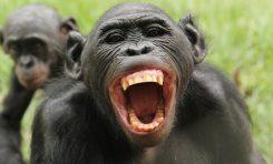 Bonobolar, Biri Haksızlığa Uğradığında Anlayıp Tepki Verebiliyor