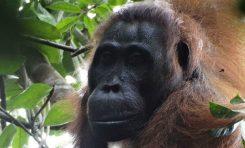 İlk Orangutan Çift Cinayeti: Orangutan Çift, Bir Dişi Orangutanı Öldürdü!