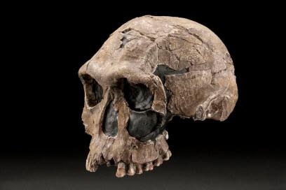 İlk kasaplar olduğu düşünülen Homo habilis türüne ait bir kafatası kalıntısı